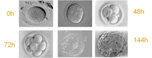 dia-a-dia embrião